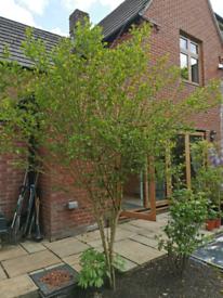 Large Prunus tree very healthy approx. 6 years