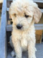 Doodle puppies - GoldenDoodle and Labradoodle