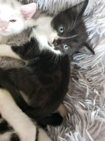 Beautiful female kittens for sale