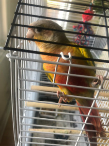 PINEAPPLE CONURE parrot- 6months old-female $250. OBO