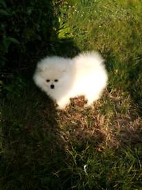 Pomeranian Puppie