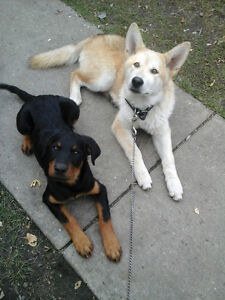 2 puppies - Rottweiler and RARE wolamute for sale!