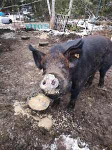 Heritage Boar for sale to a good home