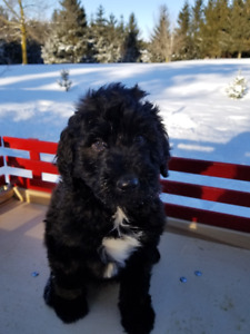 F1B Labradoodle Puppies For Sale