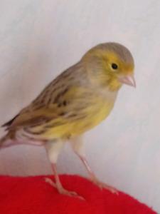 Canari ou canary