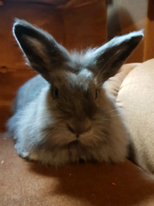 Lionhead rabbit and cage