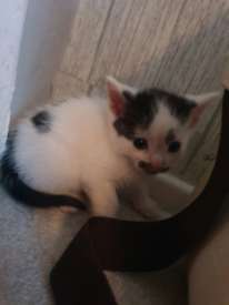 4 female black and white kittens for sale