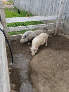 FREE POT BELLY PIGS