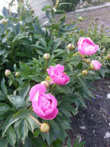 ( Assorted Flowers and flowering shrubs ):-Wanted