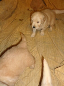 Golden Retriever Puppies.Quality Counts!