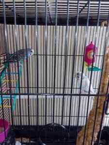 Budgie's with cage