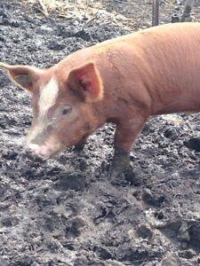 Wild boar/Hereford cross boar for sale