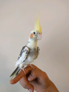 2 year old latino mix hand tame Talking cockatiel