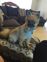 2 and a half year old toy Pomeranian.