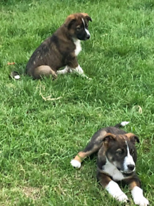 PRICE DROP* Border collie shepherd x puppies for sale 525 today!