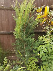 5 ft 7inch conifer