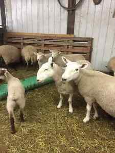 Purebred North Country Cheviot Ewes for sale