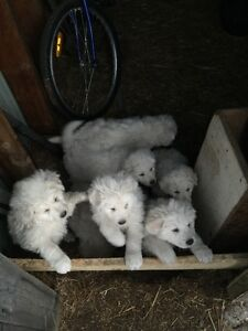 Pyrenese Puppies
