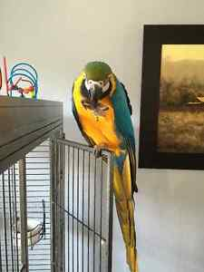 Macaw - Blue and Gold female Macaw