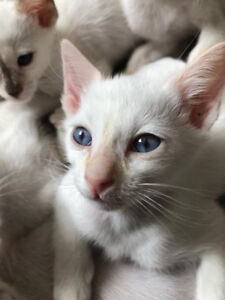 Adorables Chatons Siamois Pure Race