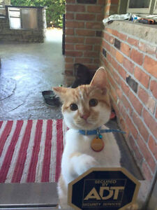 Kit - Lost Male Cat - Orange and White Tabby DSH London Ontario image 1
