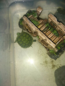 Turtle on sale for 30$