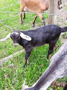 3/4 Nubian 1/4 Alpine Buckling Goat (can be wethered)