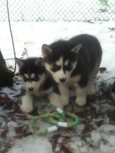 Family raised blue eyed Siberian husky puppies ready only 3 left