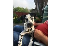 7 Month Old Dalmatian