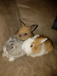Extremely tiny and precious Netherland dwarf bunnies