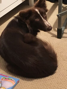 3yr old Female Special Needs Border Collie in Need of Re-Homing