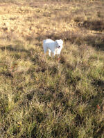 Livestock Guardian Dog looking for good home