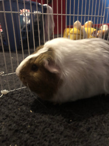 Guinea Pig!!! 4 month old female