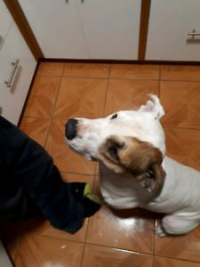 FOUND DOG IN WAIKIKI