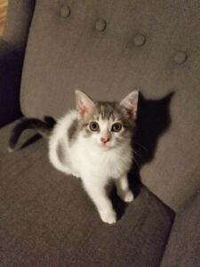 Adorable kitten free to good home