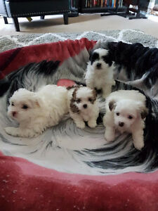 Adorable Shih Tzu Puppies- 3 MALES LEFT!