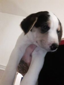 lab, bernese, pyrense pups available for christmas