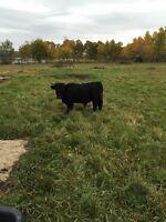 Dexter Bull for sale