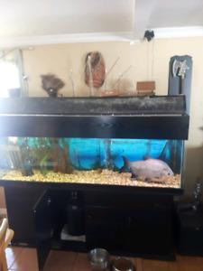 Aquarium 125gallons avec meuble tout COMPRIS 650neg MERCI