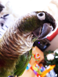 Jolie conure d'environ 2 ans! Avec sa cage