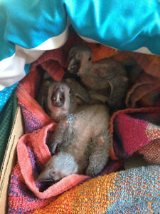 ~ Hand-reared African Greys Babies ~ Cage Included