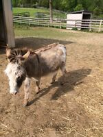 Miniature mare and Donkey gelding! GREAT WITH KIDS
