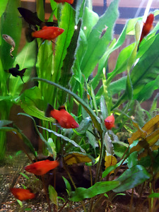 Pet fish for sale! Platys, mollys and more