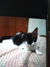 Persian x kitten