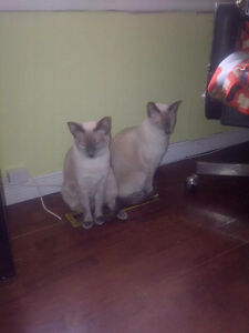 2 Blue Point Siamese brothers need a home