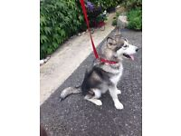 18 month old female Siberian Husky