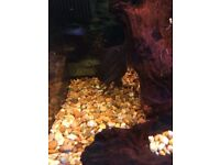 Sailfin Catfish *Tropical Fish*