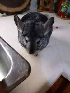 Bonded chinchillas male and female