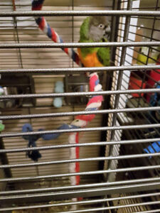 Coco the Senegal Parrot with large cage needs a new home.