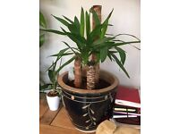 Yucca indoor plant with Pot